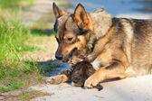 Dog pressed to the kitten — Stock Photo