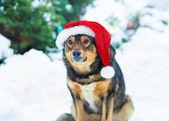 Dog wearing Santa hat — Stockfoto