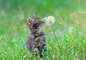 Kitten sniffing dandelion — Stock Photo