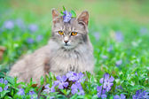 Cute siberian cat sitting on the periwinkle lawn — Stock Photo