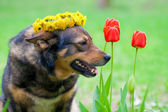 Dog crowned with a chaplet of dandelion — Stock Photo
