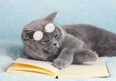 British cat is wearing glasses — Stock Photo