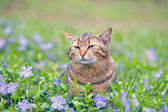 Cat walking on the periwinkle lawn — Stock Photo