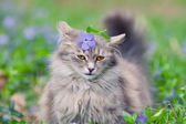 Siberian cat walking on the periwinkle lawn — Stock Photo