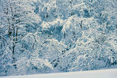 Pine forest covered with snow — Stockfoto
