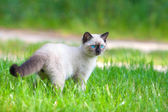 Siamese kitten walking on the lawn — Stock Photo