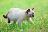 Siamese kitten walking on the grass — Stock Photo
