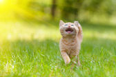 Little meowing kitten walking on the grass — Stock Photo