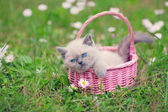 Little siamese kitten in a basket — Stock Photo