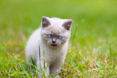 Cute little siamese kitten — Stock Photo