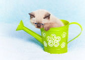 Siamese kitten sitting in the watering cat — Stock Photo