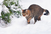 Cat waking in snow in forest — Stock Photo