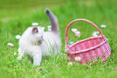 Siamese kitten and basket on the  lawn — Stock Photo