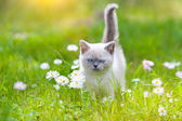 Little siamese kitten on the lawn — Stock Photo