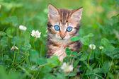 Kitten in clover meadow — Foto Stock