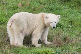 Baby polar bear — Foto Stock