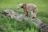 Polar bear on a tree — Stock Photo