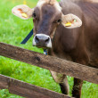 Stock Photo: Dairy Cow