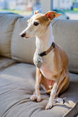 Italian Greyhound — Stock Photo