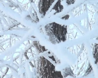 Sagging tree branch inscribed with frost (snow) — Stock Video