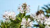 Bee pollinerar — Stockfoto