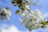 Floraison — Photo