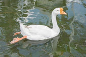 Swimming white goose  in the water — Stock Photo