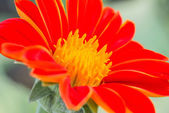 Close-up Mexican Sunflower Weed — Stock Photo
