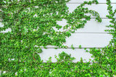 Green Creeper Plant growing on wood wall — Stock Photo