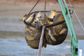 Carps catched in the landing net — Stock Photo