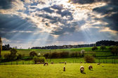 Sheep grazing the meadow — Stock Photo