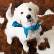 Adorable white puppy with blue scarf — Stock Photo