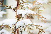 Snow covered tree branch in winter — Stock Photo