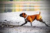 Niemiecki bokser pies — Zdjęcie stockowe