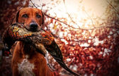 Rhodesian ridgeback hunting — Stock Photo