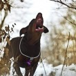 Doberman barks — Stock Photo