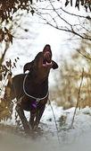 Doberman barks — Stock Photo