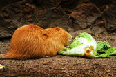 Nutria coypu — Stock Photo