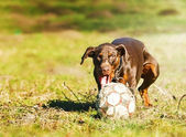 Doberman pinscher running — Stock Photo