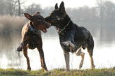 две собаки в игре — Стоковое фото