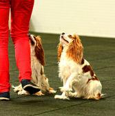 Hund tanzt — Stockfoto