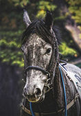 Portrait of a racehorse — Stock Photo