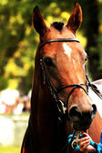 Racehorse — Stockfoto