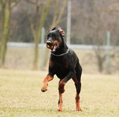 Doberman pinscher — Stock Photo
