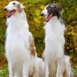 Borzoi greyhound — Stock Photo