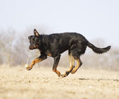 Beauceron shepherd doberman pinscher fun — Stock Photo
