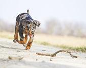 Dog running — Stock Photo
