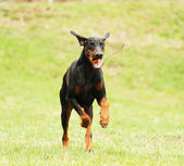 Rottweiler beauceron doberman dog — Stock Photo