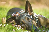 German shepherd dog puppy spring — Stock Photo