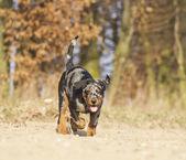 Cão na natureza da primavera — Foto Stock